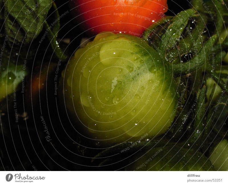 Morgentau rot gelb grün nass rund frisch Sommer Stillleben Herbst Wassertropfen Kerne Italien Caprese Plantage Ferien & Urlaub & Reisen Lust Vitamin Tomate Seil