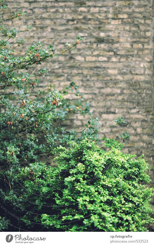 Buschwerk Stadt grün Pflanze Sommer Wand Herbst Mauer Garten braun trist Sträucher Grünpflanze