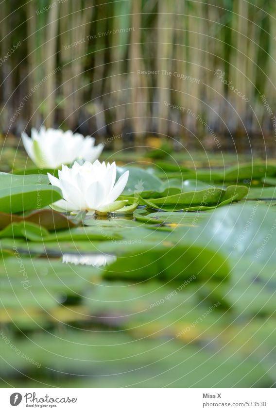 Froschperspektive Umwelt Natur Wasser Blatt Blüte Garten Moor Sumpf Teich Blühend Duft Schwimmen & Baden Seerosen Seerosenblatt Seerosenteich Schilfrohr