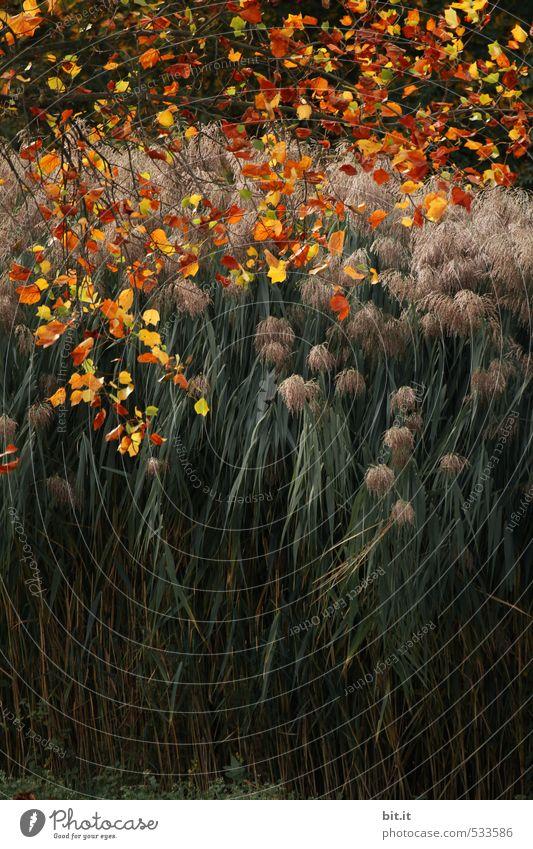 bunte Brise übers Schilf Garten Gartenarbeit Umwelt Natur Pflanze Herbst Klima Schönes Wetter Wind Gras Sträucher Grünpflanze Park Teich See Gefühle Stimmung