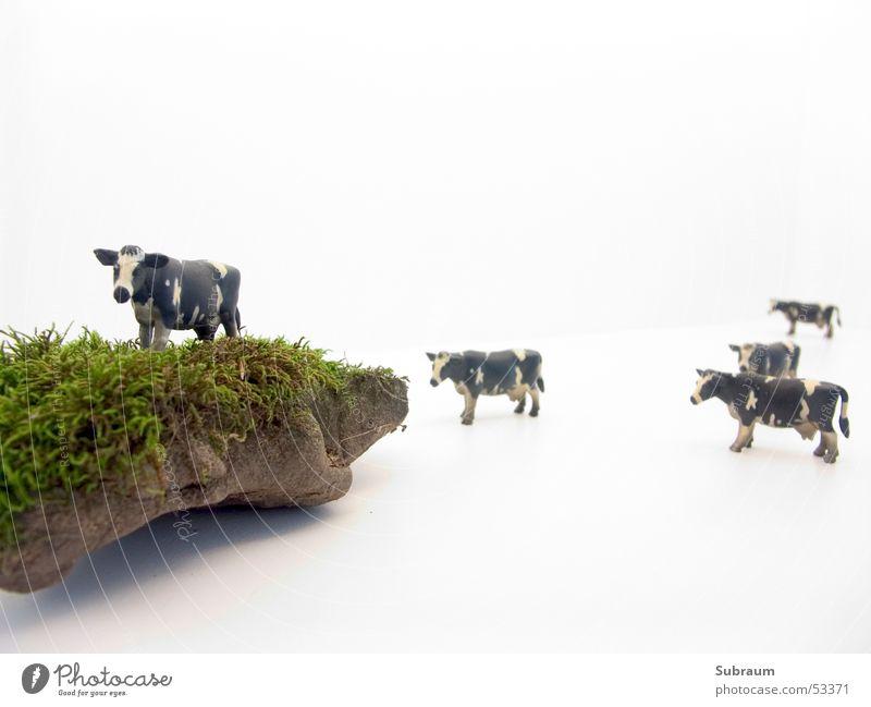 Muh_02 weiß schwarz Wiese Landwirtschaft Tiergruppe Kuh Weide Säugetier Rind scheckig Herde Viehhaltung Wiederkäuer Milchkuh Kuhherde Milchwirtschaft