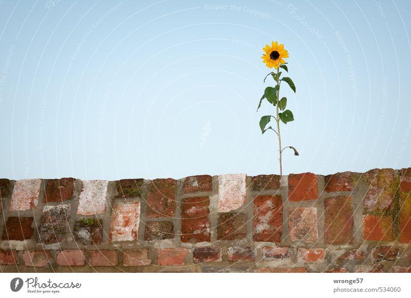 Mauerblümchen Pflanze Himmel Wolkenloser Himmel Herbst Blume Sonnenblume Wand blau braun mehrfarbig gelb grün Blüte Blatt Mauerstreifen Blitzlichtaufnahme