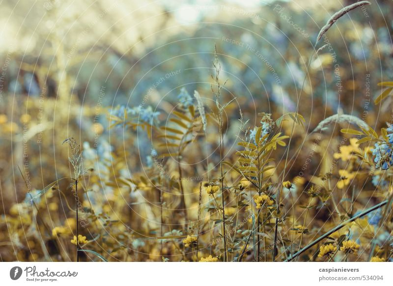 Wildblumen Umwelt Natur Pflanze Blume Gras Wiese wild weich schön friedlich ruhig träumen Nostalgie Optimismus blau Sonne Farbfoto Detailaufnahme
