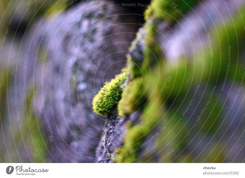 Moos Mauer Pflanze Makroaufnahme