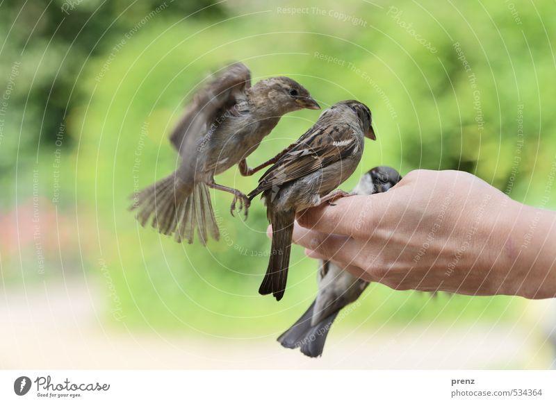 Trio maskulin Hand Umwelt Natur Tier Frühling Schönes Wetter Wildtier Vogel 3 braun grau grün Spatz fliegend flattern sitzen füttern Farbfoto Außenaufnahme