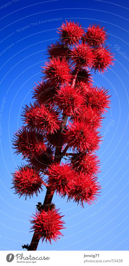 Rizinus. blau Pflanze rot Blüte Sträucher Afrika Samen Gift Wolfsmilchgewächse