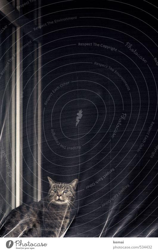 Warnung vor der Katze Häusliches Leben Wohnung Vorhang Fliegengitter Fenster Tier Haustier Tiergesicht Fell 1 sitzen bedrohlich dunkel verrückt Gefühle