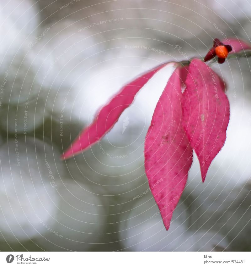 Pflanze | der Herbst Blatt Pflaumenblatt Natur rot Sträucher Beeren
