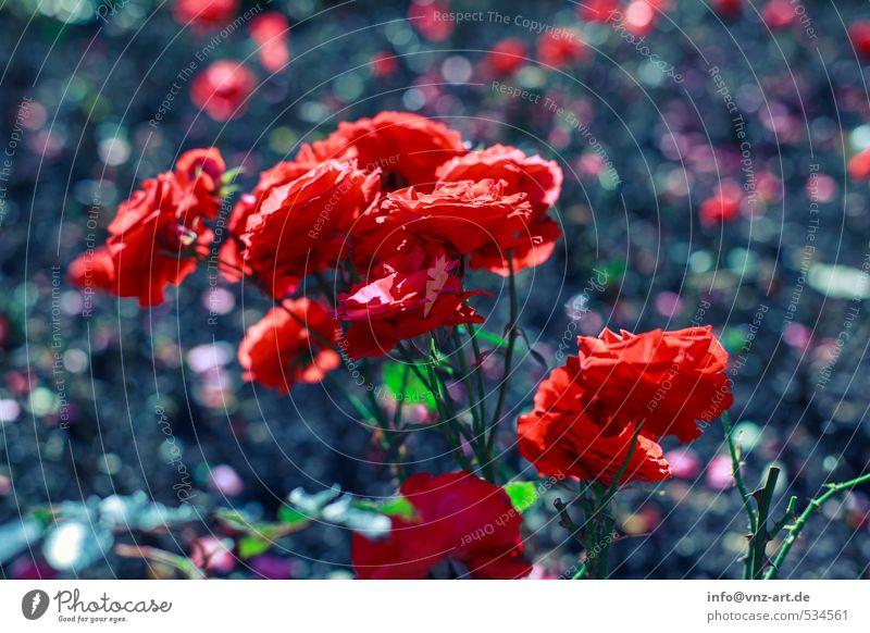 Rooose Umwelt Natur Sonne Sonnenlicht Sommer Herbst Pflanze Blume Rose Garten Park Duft rot Unschärfe Blühend leuchtende Farben Farbfoto Außenaufnahme