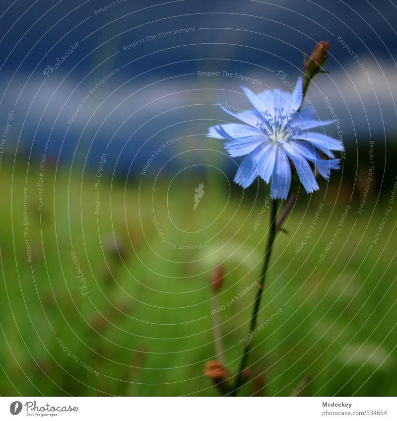 Ich blühe immer noch Umwelt Natur Landschaft Pflanze Himmel Wolken Sommer Klima schlechtes Wetter Unwetter Wind Gewitter Blume Gras Blatt Blüte Grünpflanze