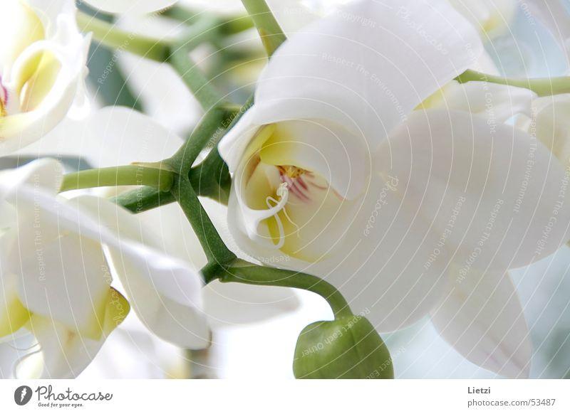 Orchidee weiß grün