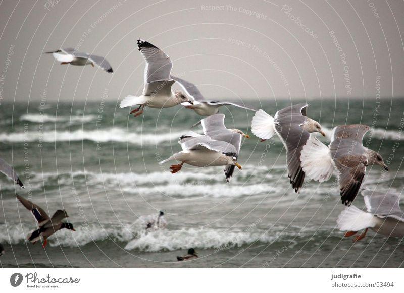 Möwen 2 Wasser Meer Strand kalt Bewegung grau See Vogel Wellen Luftverkehr Feder Flügel Ostsee Ente