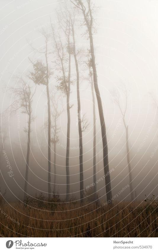 Nebelwald III Umwelt Natur Landschaft Herbst schlechtes Wetter Pflanze Baum Wald dunkel gruselig kalt natürlich Buchenwald Baumstamm hoch aufstrebend Farbfoto