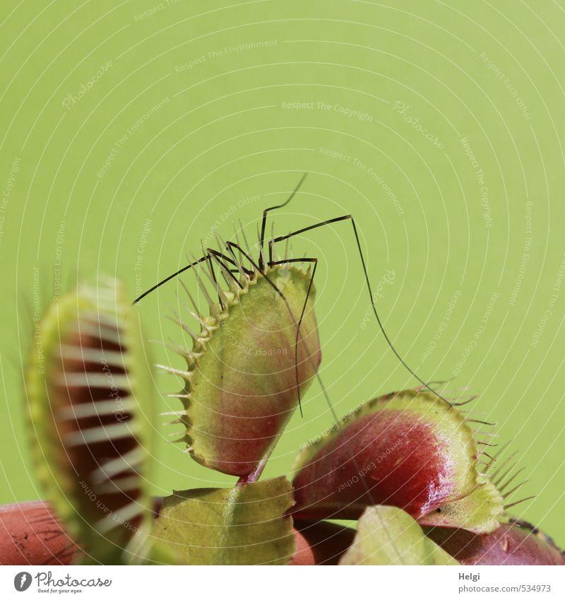 zugeschnappt... Natur grün Pflanze Sommer rot schwarz Leben Tod natürlich außergewöhnlich Beine offen authentisch Wachstum geschlossen gefährlich