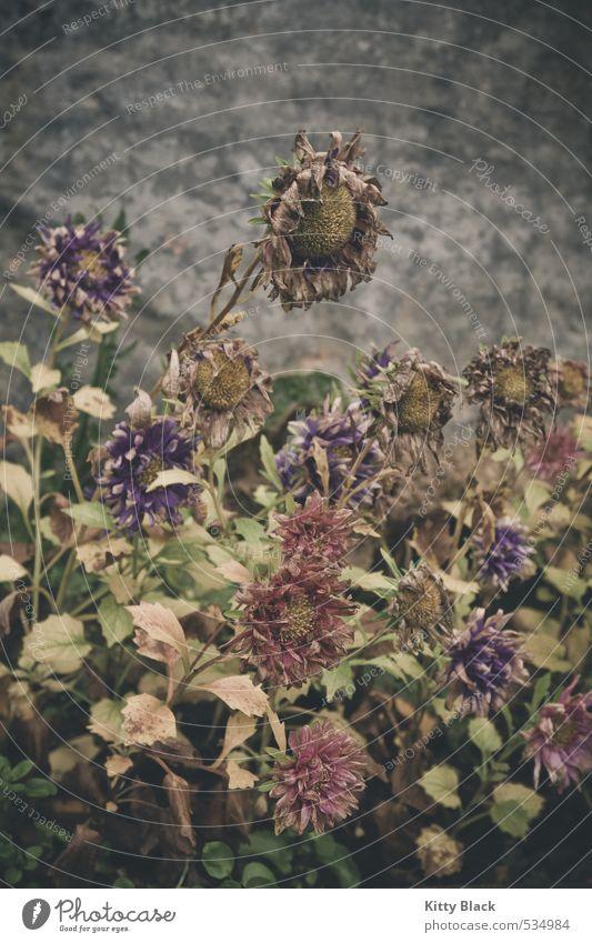 Strohblumen Natur Pflanze Blume Herbst Garten schlechtes Wetter