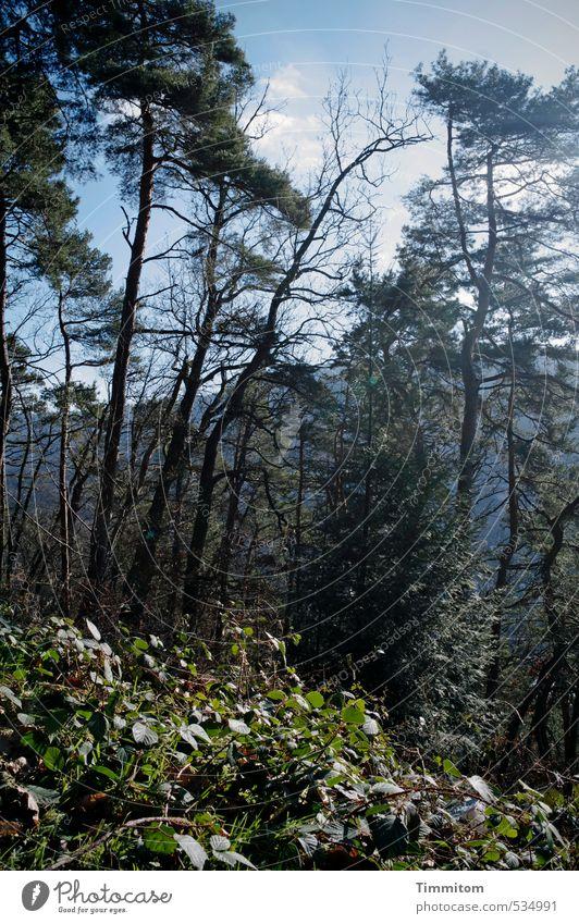 Heidelbergwald. Umwelt Natur Pflanze Himmel Schönes Wetter Baum Wald Wachstum frisch natürlich blau grün Leben kahl Ast Farbfoto Außenaufnahme Menschenleer Tag