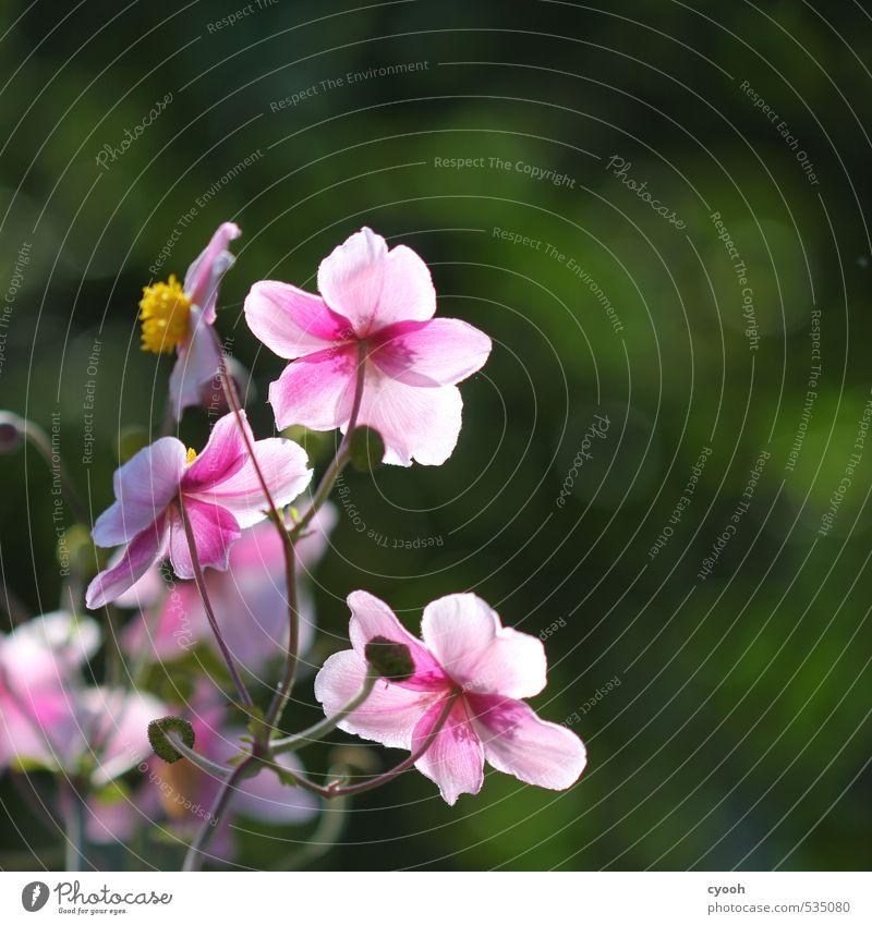 Herbstblüten II Natur Frühling Sommer Schönes Wetter Blume Blüte Garten Blühend Duft leuchten Wachstum ästhetisch frisch schön rund grün rosa Zufriedenheit