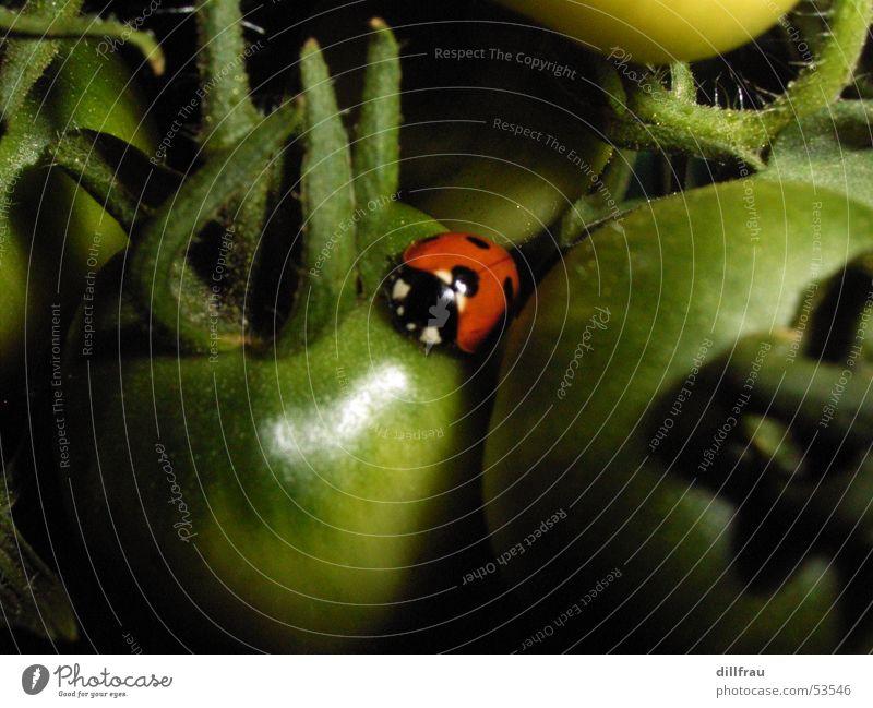 Marienkaeferschlafplatz grün Sommer Sonne rot gelb Wiese Gesundheit Garten Zufriedenheit schlafen rund Punkt Gemüse Insekt Geborgenheit Tomate