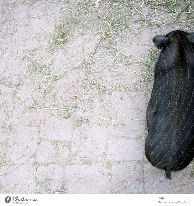 Ein halbes Schwein. Tier schwarz oben stehen Landwirtschaft Bauernhof unten Haustier Forstwirtschaft Hälfte Hängebauchschwein