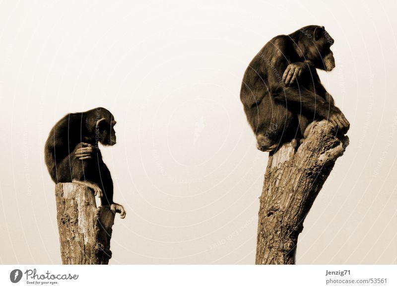 Heute noch was vor? Affen Schimpansen Menschenaffen Publikum Ausdauer Zeit See sitzen warten beobachten Blick schauen affen geduldig wait monkey watch Stil