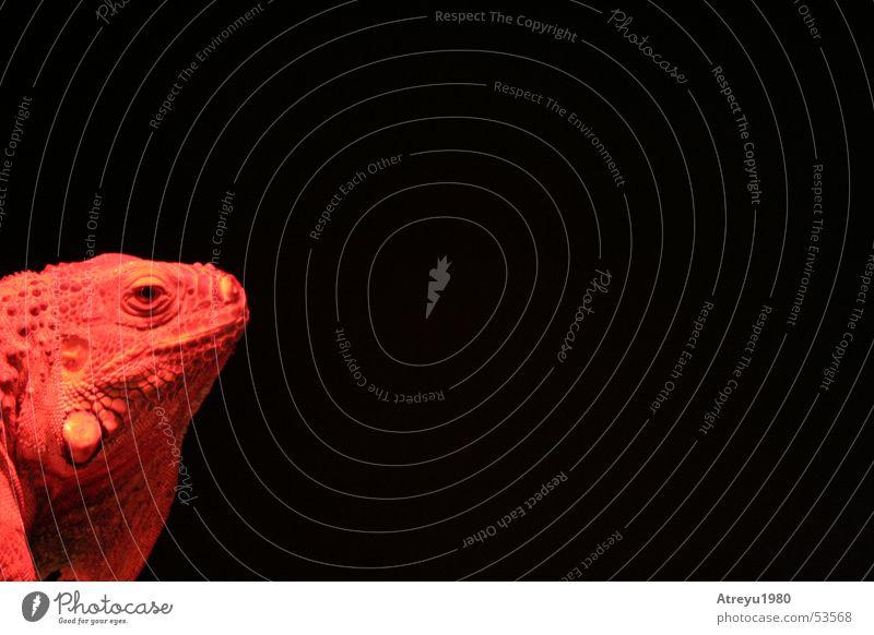 1/6 Leguan rot schwarz Tier Wärme Physik heiß Haustier Reptil Echsen Leguane Grüner Leguan