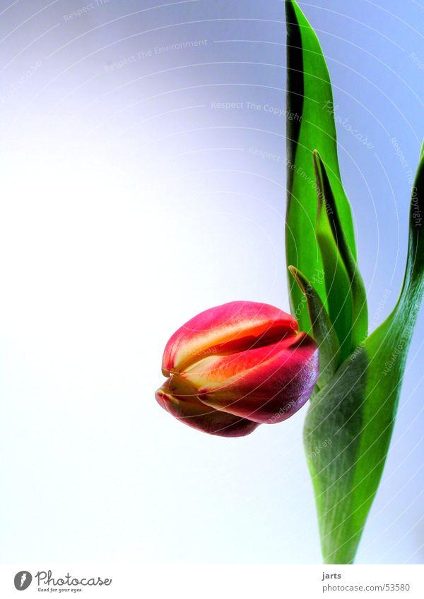 Tulpe grün rot Blume Blatt Frühling Blüte Feste & Feiern