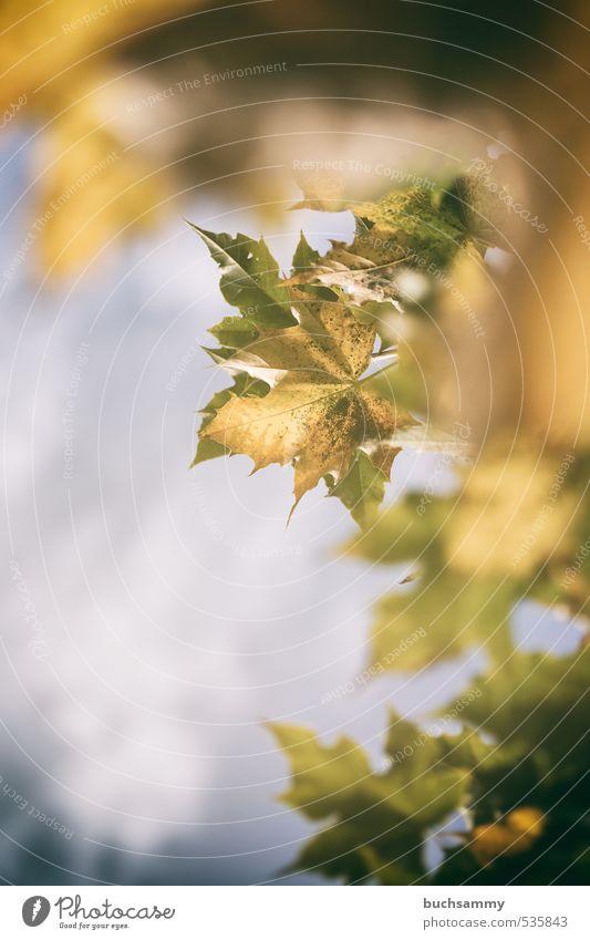 Herbstlaub Feierabend Natur Pflanze Tier Baum Blatt Holz leuchten verblüht blau gelb grün Verfall Ahorn Himmel Jahreszeiten sanft Wechseln Farbfoto