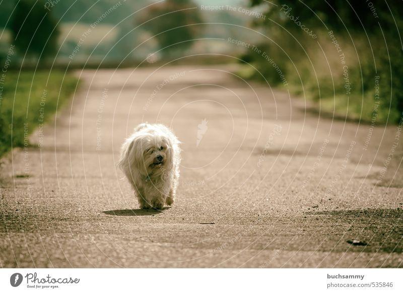 Einsamer Hund Natur Tier Herbst Schönes Wetter Baum Gras Feld Straße Wege & Pfade Fell langhaarig Haustier 1 gehen klein weiß Einsamkeit Bester Freund Bichon