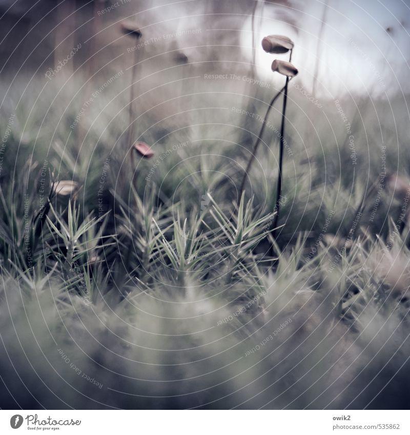 Treue im Kleinen Umwelt Natur Landschaft Pflanze Klima Wetter Schönes Wetter Moos Sporenkapsel Wald Bewegung Wachstum dünn authentisch exotisch klein nah