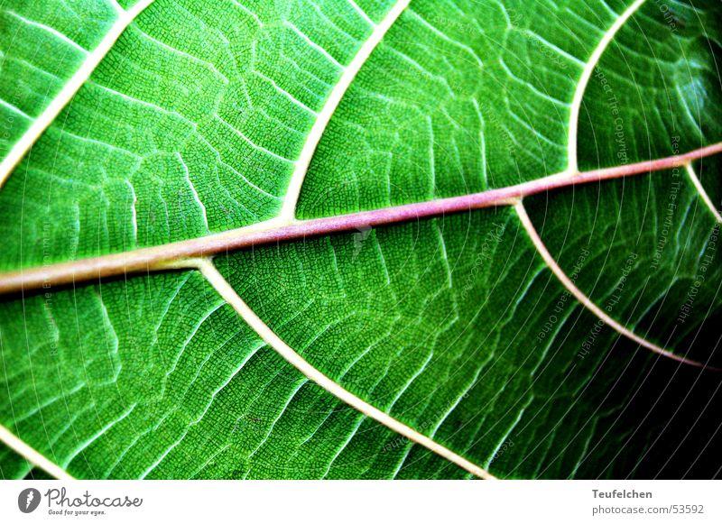 grüne phase 1 Blatt Gefäße Pflanze Photosynthese Makroaufnahme Linie Nahaufnahme Blattgrün