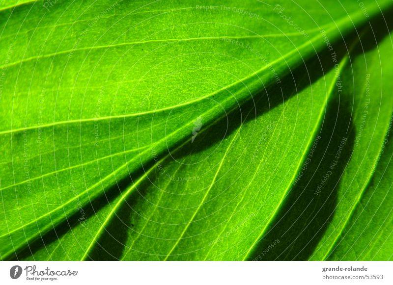 blattgruen grün Blatt hellgrün diagonal grass Natur Bioprodukte Kontrast