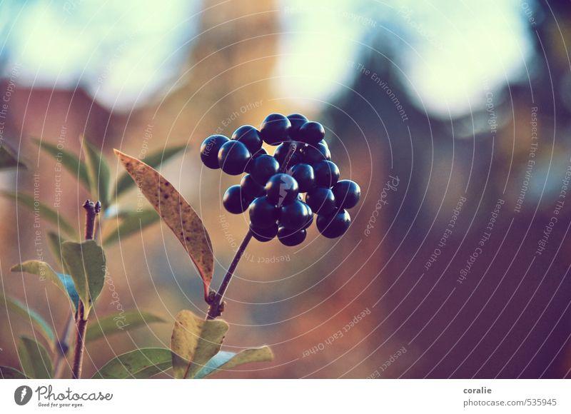 herbstbeeren Natur Herbst Pflanze Blatt Blüte Garten Blühend Wachstum Beeren Frucht Kugel Erntedankfest herbstlich mehrere Zweig Romantik Sommer Reifezeit reif