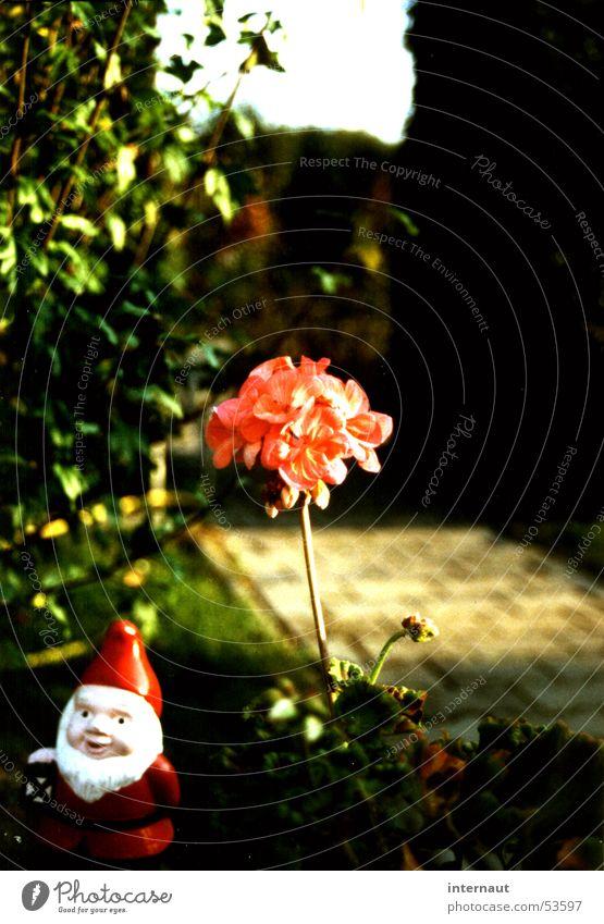 Blumenzwerg Gartenzwerge rot zart rosa Pflanze Gartenpflanzen Blüte Blühend Freundlichkeit grün Hecke Humor Konservatismus Schrebergarten Gartenbau