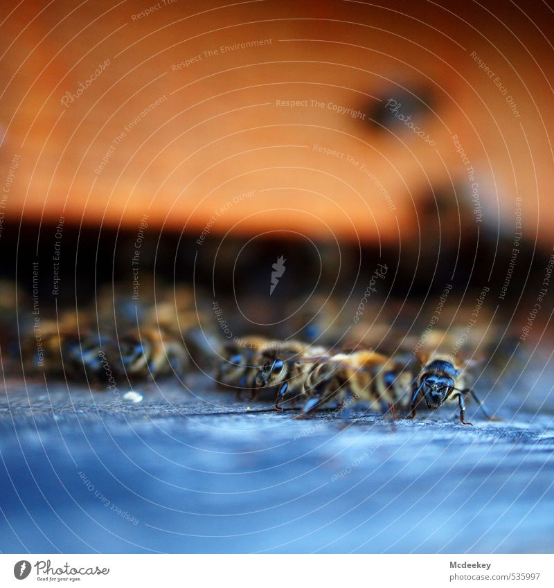 other colonies 7 Sommer Schönes Wetter Tier Nutztier Wildtier Biene Tiergruppe Schwarm krabbeln Blick sitzen bedrohlich natürlich weich blau braun mehrfarbig