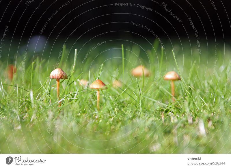 Noch´n Pils Natur grün Wiese Garten Pilz Pilzhut Tintlinge