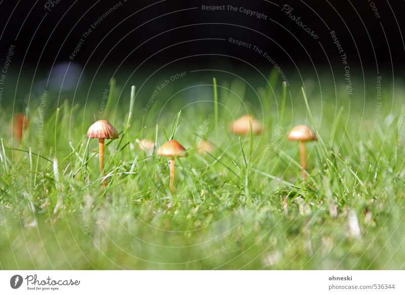 Noch´n Pils Natur Pilz Pilzhut Tintlinge Garten Wiese grün Farbfoto Außenaufnahme Textfreiraum oben Textfreiraum unten Tag Schwache Tiefenschärfe