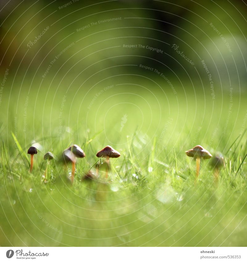 Pflanze | Kolonie Natur Wiese Herbst Gras Idylle Wachstum Pilz Pilzhut Tintlinge