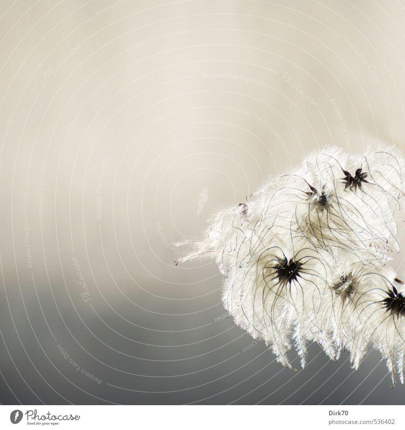 Luftig-leicht & zart Natur Pflanze Sonnenlicht Herbst Wildpflanze Waldrebe Clematis Kletterpflanzen Ranke Samen Park leuchten verblüht dehydrieren Wachstum
