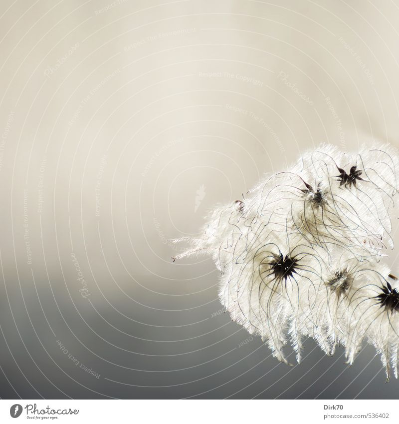 Luftig-leicht & zart Natur schön weiß Pflanze schwarz Wald Herbst grau Park leuchten warten Wachstum ästhetisch Beginn weich Wandel & Veränderung
