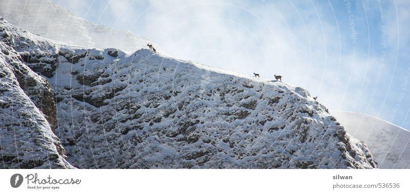 climb up Natur blau weiß Landschaft Tier Winter Ferne kalt Berge u. Gebirge Freiheit Felsen Wildtier Tiergruppe sportlich entdecken Flucht