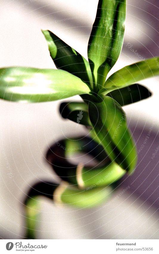 Kreisel-Bambus Sonne grün Pflanze Blatt Asien China Japan Bambusrohr Zimmerpflanze