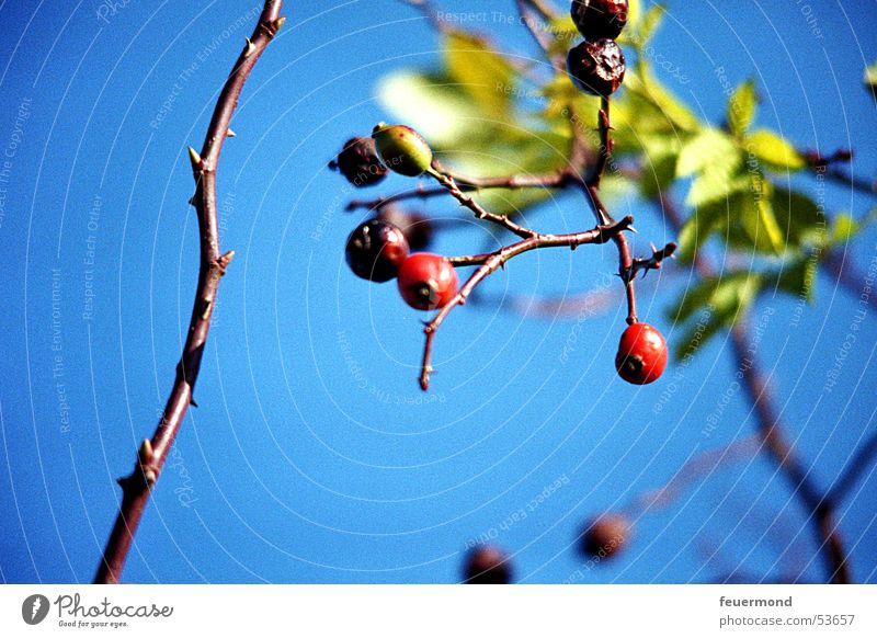 Hagebuttenzeit I rot Blatt Pflanze blau Himmel Zweig Beeren Hundsrose