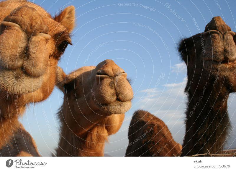 Omans Camels Tier Naher und Mittlerer Osten Wüste Kamel Dromedar Oman