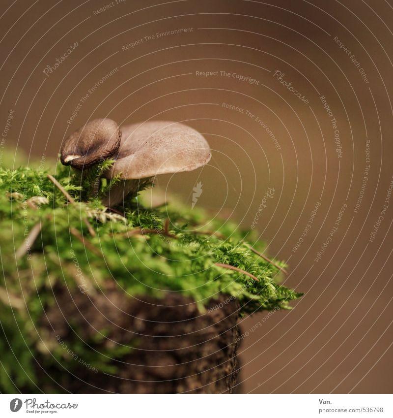 Klippenspringer Natur Pflanze Herbst Pilz Moos Baumstumpf Wald Wachstum klein braun grün Farbfoto mehrfarbig Außenaufnahme Nahaufnahme Menschenleer