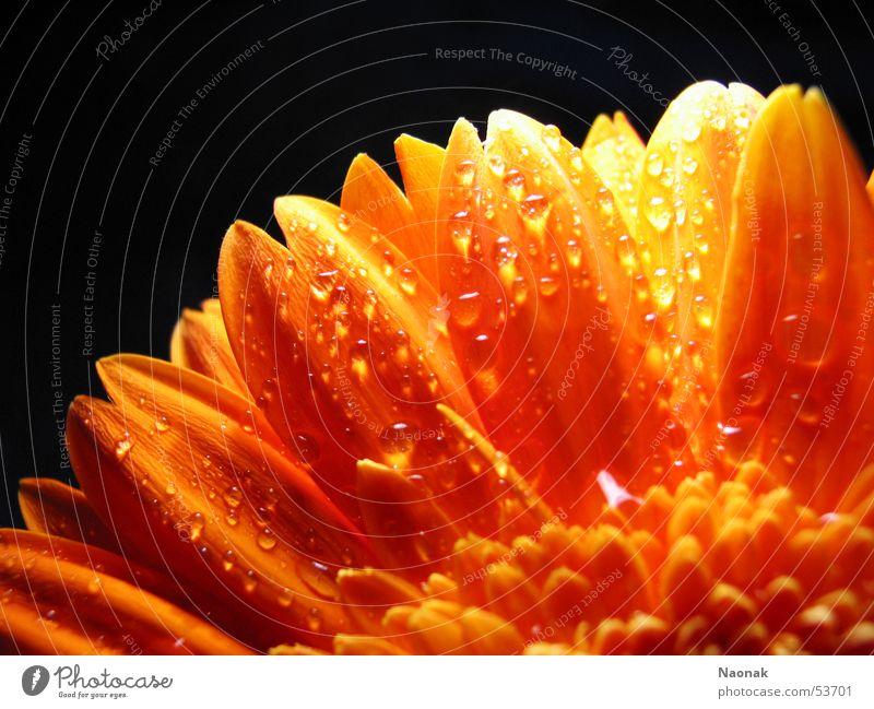 Dana Ellen Wasser Blatt schwarz Blüte orange gold Spitze spritzen Gerbera Blume