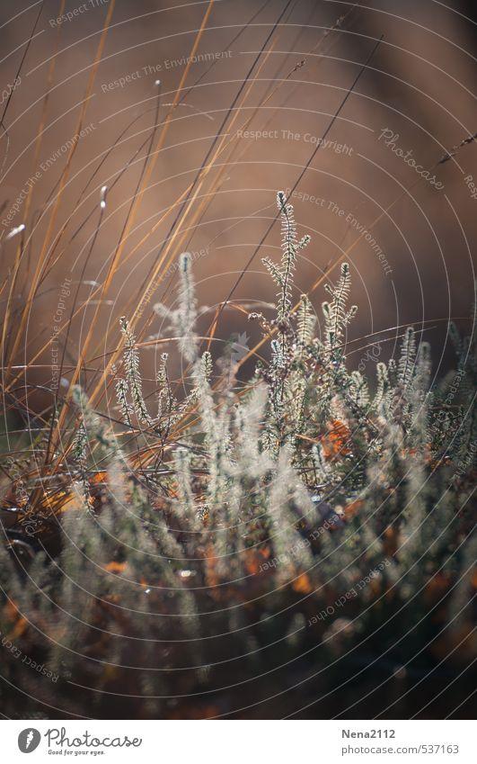Pflanze | in Morgenlicht Natur schön Sommer Umwelt Wiese Herbst braun Erde Sträucher Schönes Wetter zerbrechlich Naturschutzgebiet Heide Heidekrautgewächse