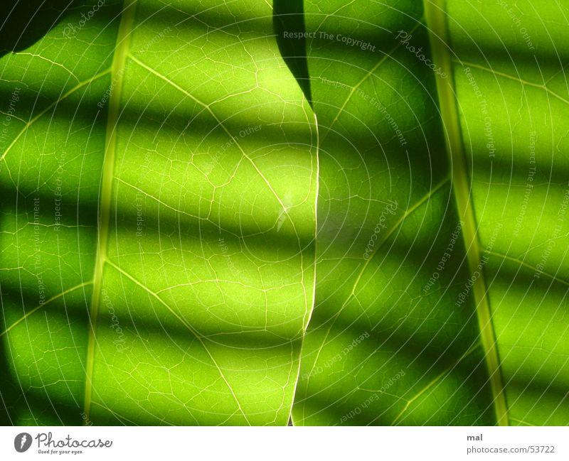 green leaves Blatt Pflanze Gefäße 2 ähnlich grün Monochrom Kraft Streifen Jalousie Licht Gegenlicht Symmetrie Rhythmus dunkel ruhig überlagert mehrschichtig