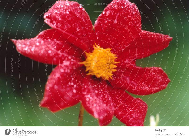 Red Natur Blume rot Tau