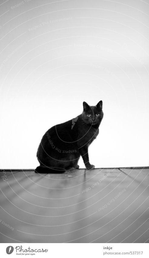 schwarze Katze + Freitag, der 13. Katze weiß Tier schwarz Gefühle Stimmung sitzen Haustier Hauskatze Holzfußboden hocken Volksglaube Vor hellem Hintergrund