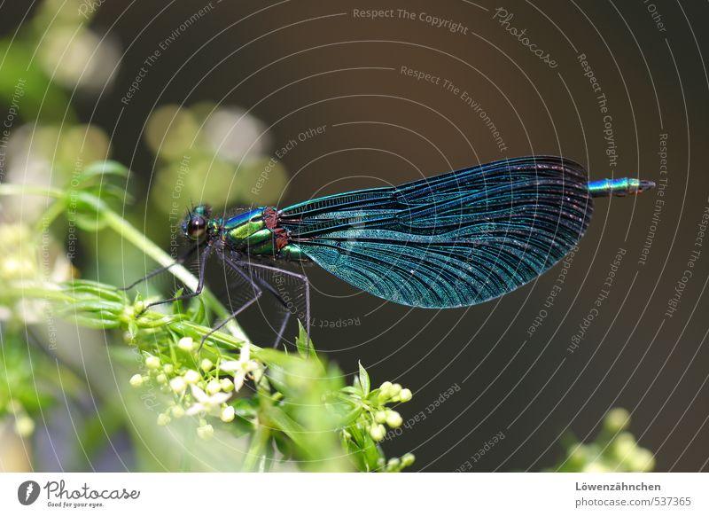 Blue Dragon (fly) Natur blau grün weiß Pflanze Tier Blüte glänzend elegant sitzen Wildtier ästhetisch fantastisch Pause zart Insekt